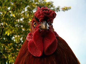 English: rooster Magyar: kakas