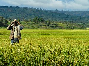 A farmer stands amidst a rice farm in Burundi....