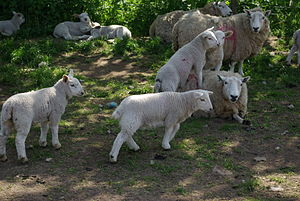 Spring lambs and parents at few weeks old