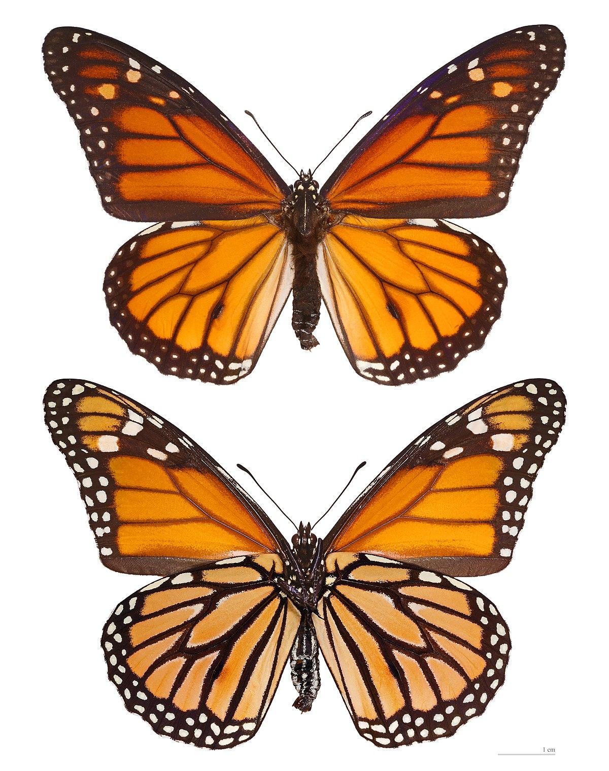 monarque papillon wikipedia