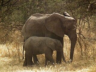 Elephant in Tanzania-Nevit Dilmen