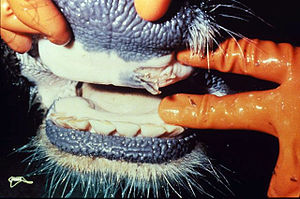 English: Ruptured oral vesicle in a cow with F...