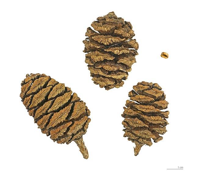 File:Sequoiadendron giganteum MHNT.BOT.2004.0.191.jpg