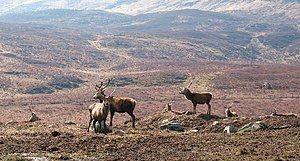 English: Stag party Red deer stags on the hill...
