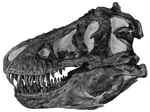 File:Tyrannoskull.jpg