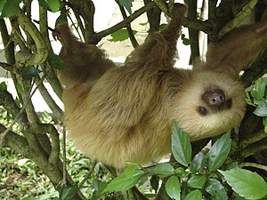 English: a 2-toed sloth at the Jaguar Rescue C...