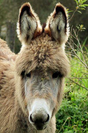 Páramo woolly baby donkey in Chimborazo, Ecuador