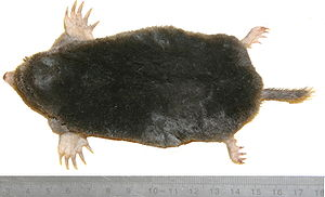 European mole from top