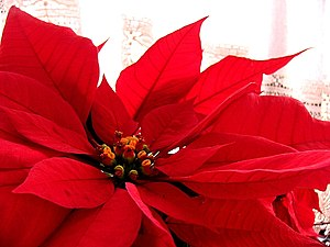 Flower poinsettia D2