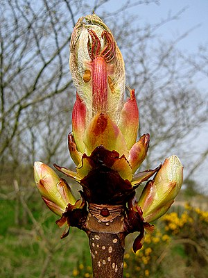 Bach flowers for focus attention and concentration chestnut bud english horse chestnut bud bursting into leaf mightylinksfo