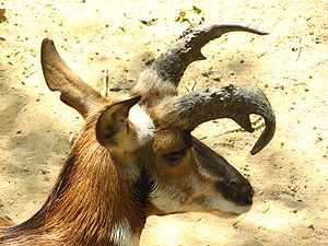 A Pronghorn in captivity at the Los Angeles Zoo
