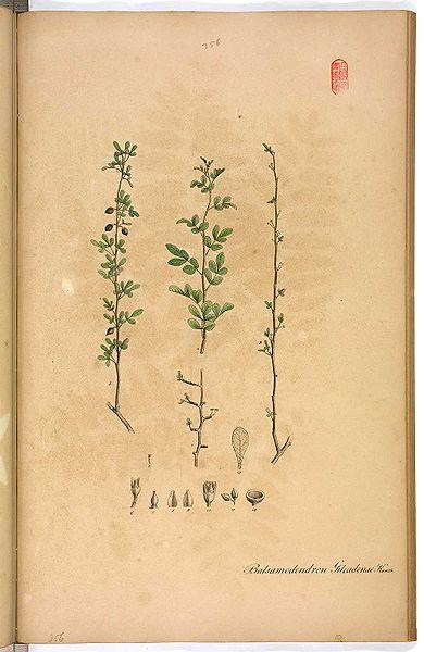 File:Commiphora opobalsamum.jpg
