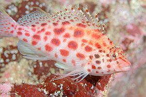 Coral Hawkfish, Galapagos Islands, Ecuador. Im...