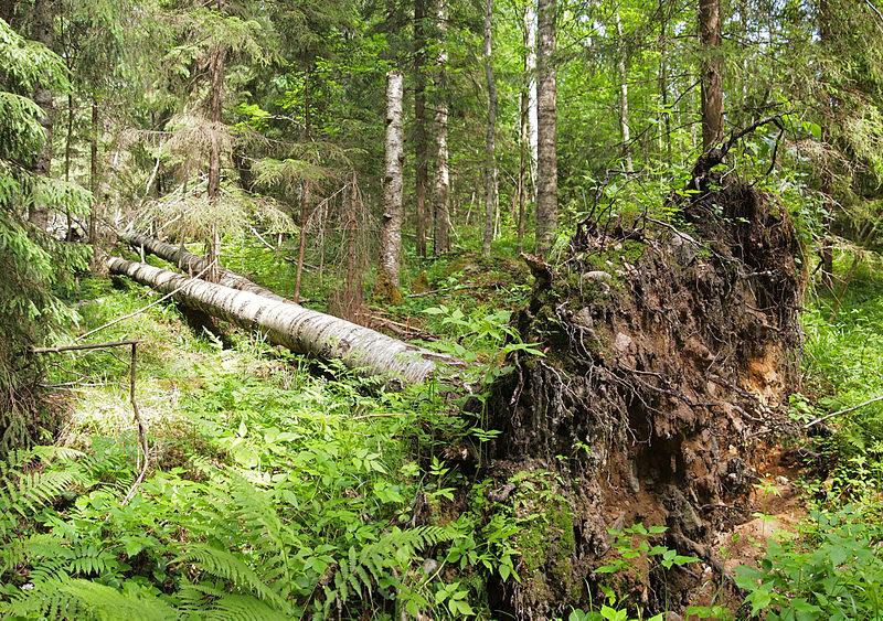 File:Fallen tree.jpg