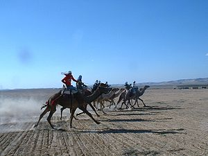 English: Traditional Bedouine camel race in th...