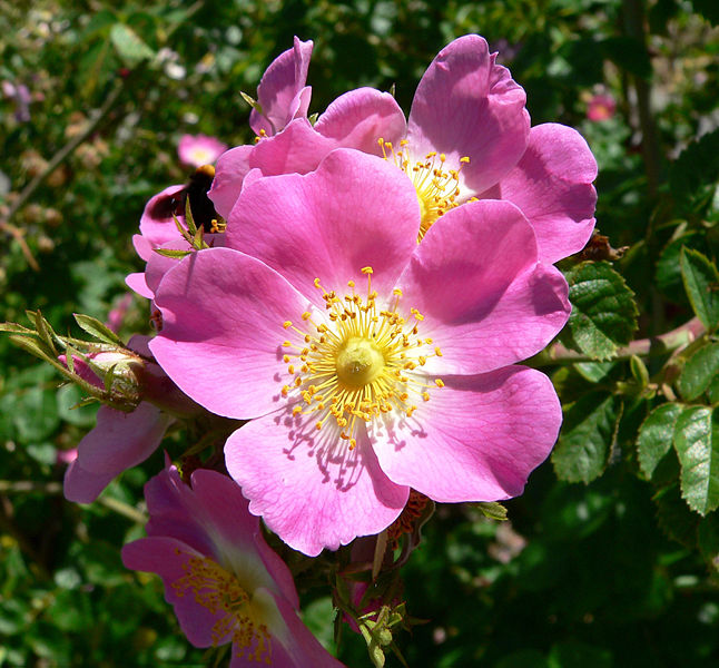 File:Rosa rubiginosa 1.jpg