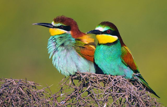 European Bee-eaters, (Merops apiaster), in Amed, Northern Kurdistan, Turkey. By Dûrzan cîrano