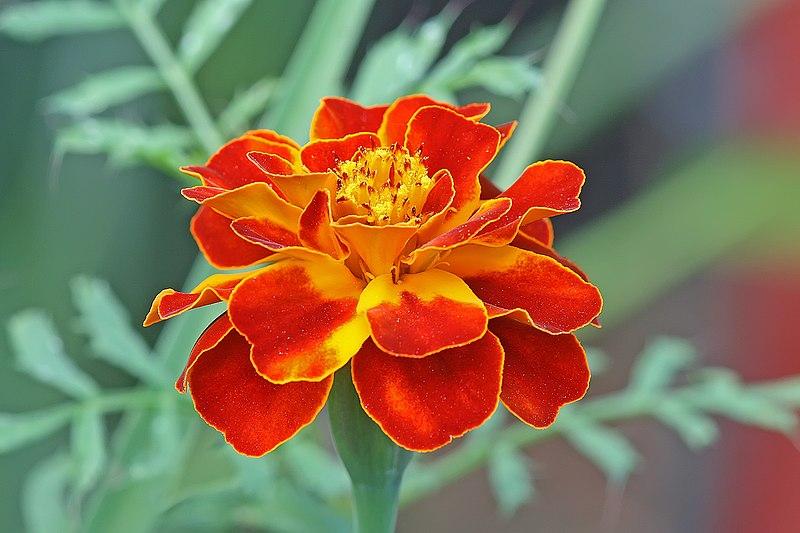 French Marigold - Tagetes Patula