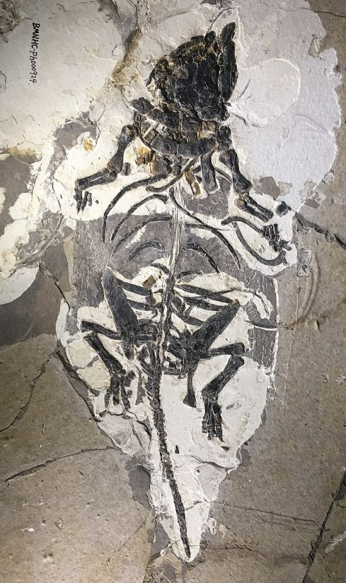 Liaoningosaurus paradoxus - early cretaceous Liaoning IMG 5223 Beijing Museum of Natural History.jpg