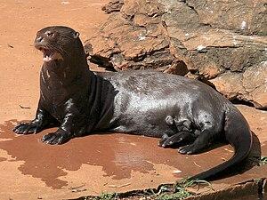 A female Giant Otter (Pteronura brasiliensis) ...