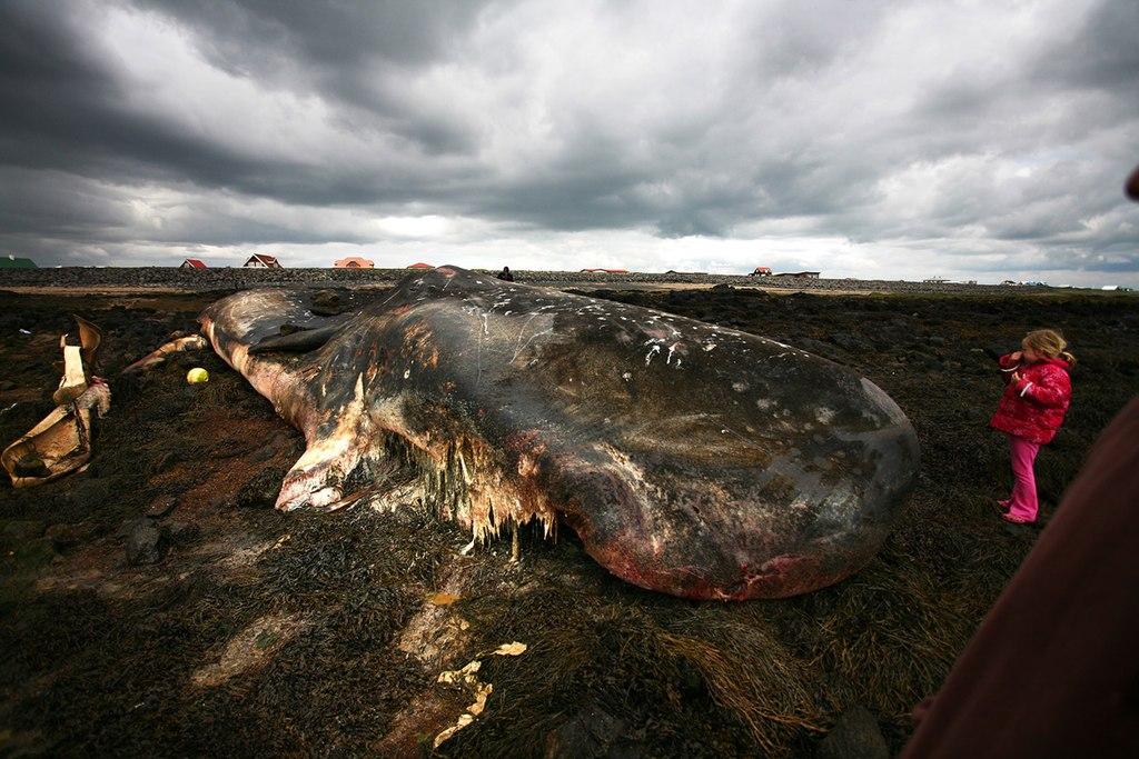 打ち上げられたクジラの死骸。脂肪の分解に伴い強烈な臭気を放つ