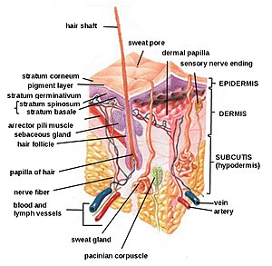 English: A complete diagram of the human skin.