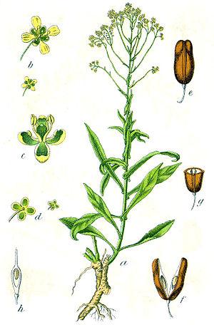 Isatis tinctoria L., syn. Crucifera isatis E.H...