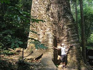 Kabark-Tree Taksin Maharat NP