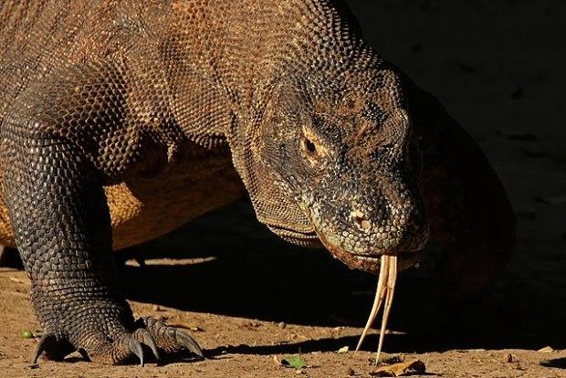Komodo dragon (Varanus komodoensis), Komodo National Park, Indonesia