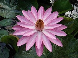 Indian lotus