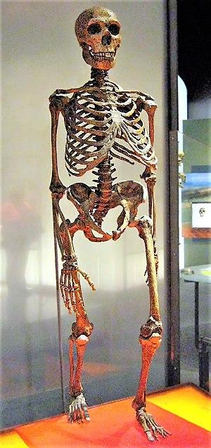 Neanderthal Skeleton, AMNH