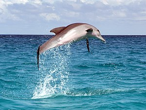 A dolphin leaps out of the water in the Indian...