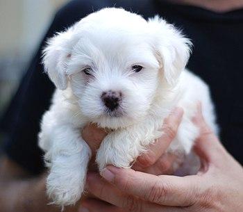 A Maltese puppy.