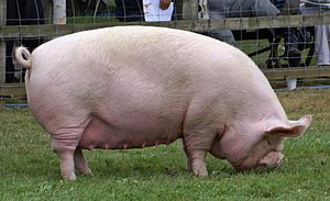 A Middle White sow at The Last Royal Show