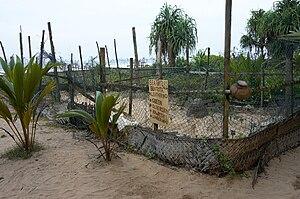Turtle project in Bentota, Sri Lanka. Place is...