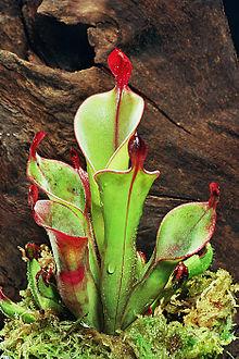 220px H chimantensis2 - Plantas carnívoras definición