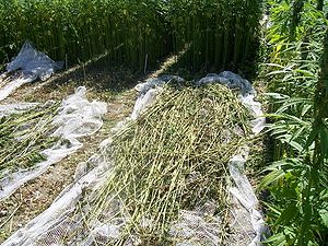 Hemp being harvested. Uploaded by the photogra...