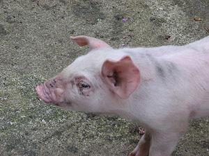 Catalan pet pig