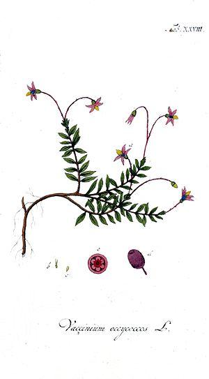 Vaccinium oxycoccos, the common cranberry, one...