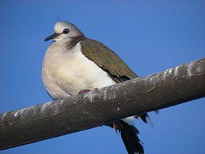 Violet Dove 4