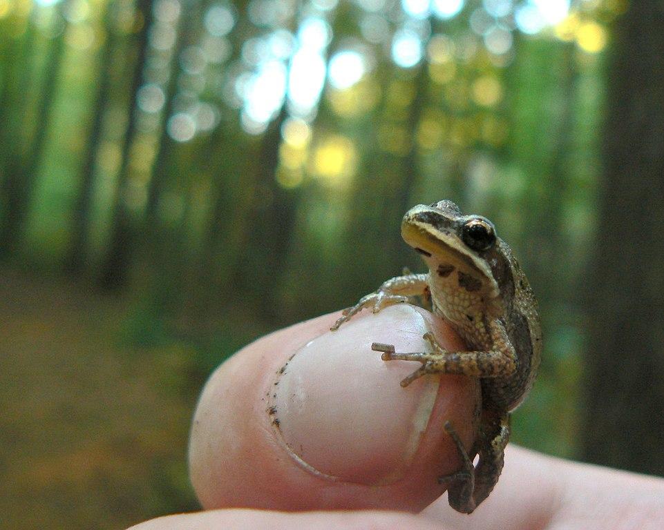 https://i2.wp.com/upload.wikimedia.org/wikipedia/commons/thumb/e/ea/Western_chorus_frog.jpg/961px-Western_chorus_frog.jpg