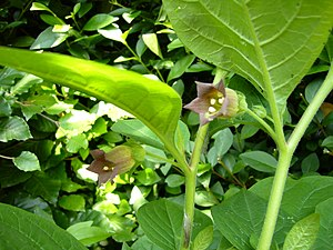 English: The flowers of Atropa belladonna