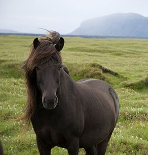 Icelandic ponies are beautiful and good-natured...