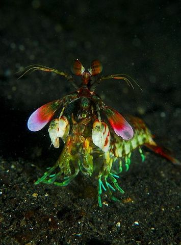 File:Mantis shrimp from front.jpg