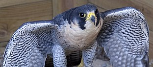Peregrine Falcon (3938274380)