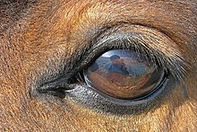 Equine Vision