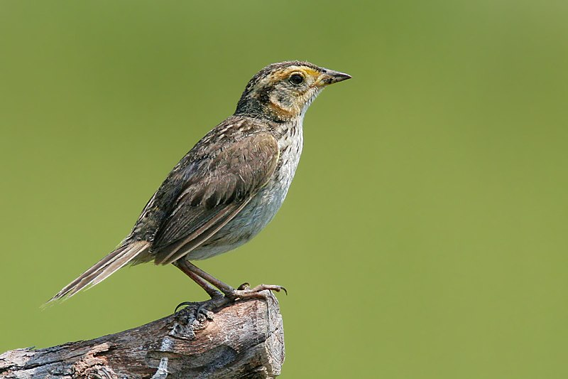 File:Saltmarsh sharp tailed sparrow.jpg