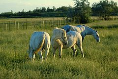 3 horses on pasture
