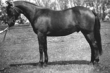 Black and white photo of a well-groomed Brumby standing sideways to the camera, wearing a Barcoo bridle but no saddle, set up in a squared-up conformation stance, as if at a horse show.