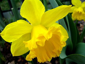 Picture of a Daffodill, scientifically referre...